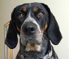 bluetick coonhound genetics a to z list of dog breeds dog breed plus