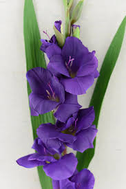 gladiolus flowers flower purple 33in