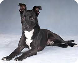 american pitbull terrier c thunder adopted dog chicago il labrador retriever pit bull