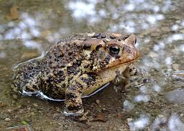 How To Get Rid Of Cane Toads In Backyard How To Attract Toads To The Garden Turning The Clock Back