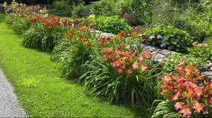 day lillies roberta s 9 scentsational reblooming daylilies page 1