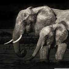 apple wallpaper elephant elephants 4k hd desktop wallpaper for 4k ultra hd tv tablet