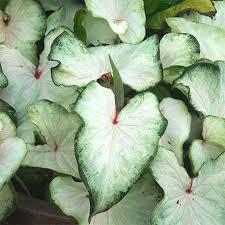 white caladiums