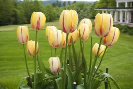 planting growing and caring for tulips