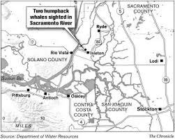 Lodi Ca Map California 2 Humpbacks Making Their Way Up Delta Agencies Try