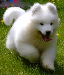 cutest samoyed puppy ever animals pinterest samoyed puppies