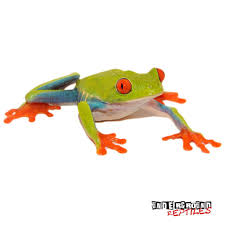 eyed tree frogs for sale reptiles