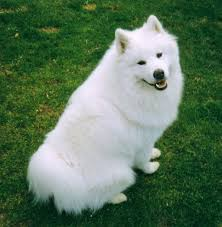 american eskimo dog meme 10 best dog breeds for cold weather with pictures u2013 what every