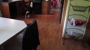 Reflections Laminate Flooring Dog Scared Of Reflection Youtube