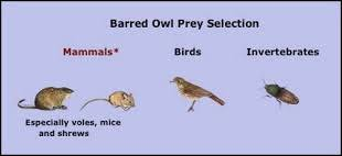 What Does A Barn Owl Look Like Mr U0026 Mrs Barred Owl Feathers And Pellets