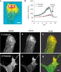 cytoplasmic dynein and lis1 are required for microtubule advance