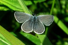 butterfly conservation cumbria branch species small blue