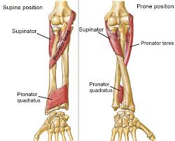 Human Anatomy Upper Body Muscle Gain Relation Between Upper Body Workout And Wrist Size