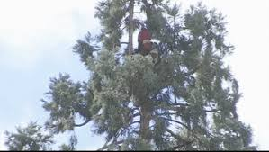 climbs a tree shuts seattle streets for a day cbs news