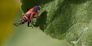 organic gardening repel bugs naturally with garden herbs planitdiy