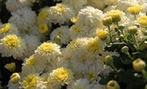plant mums for plenty of fall color miracle gro canada