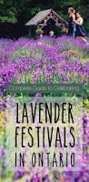 plants native to ontario lavender oil lavender plants u0026 lavender festivals exploring the
