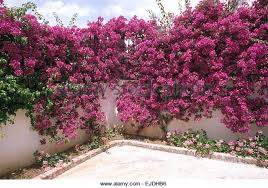 white wall with bougainvillea stock photos u0026 white wall with