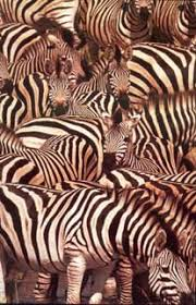 pattern formation zebra animal coat pattern formation