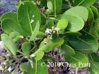 Image result for Avicennia schaueriana
