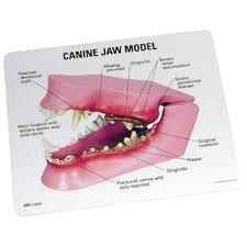 Dog Tooth Anatomy Canine Jaw Model 9195 For Sale Anatomy Now