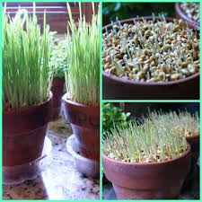 how to grow ornamental wheat grass hometalk