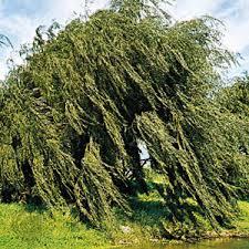 willow plant genus britannica