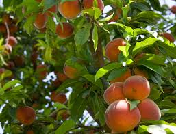 i want to plant a peach tree first but jason wants a mexican plum