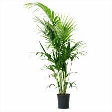 indoor palm fresh modern indoor potted plants beautiful care garden trends