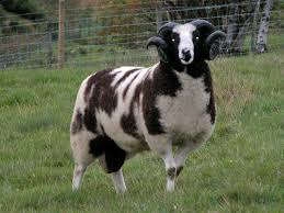 141 best 짐승 images on sheep farm animals and
