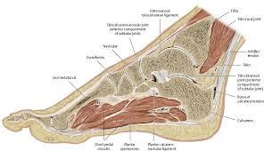 Anatomy Of The Calcaneus Ankle U0026 Foot Atlas Of Anatomy