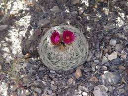 new mexico native plants cactus wrangling desert road trippin u0027
