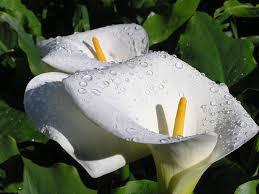 Calla Flower Plant Of The Month July Zantedeschia Calla Lily