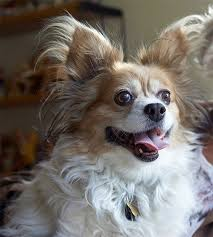 Do Bed Bugs Get On Dogs Papillon Dog Breed Information Pictures Characteristics U0026 Facts