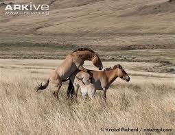 mustangs mating przewalski s photo equus ferus przewalskii g112491 arkive