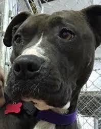 boxer dog utah boxer dog for adoption in st george ut adn 474531 on