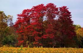 buy sassafras trees 12 99 get free shipping