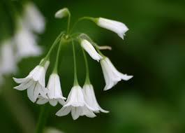 bulbs u0026 tubers a field guide to growing care u0026 design on gardenista