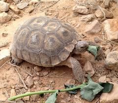 category archives desert tortoises page 2