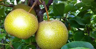 grow the most amazing fruit by pruning your fruit trees