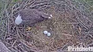 beloved florida eagles harriet m15 now incubating 2 new