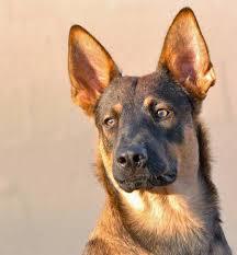 belgian shepherd x malamute roarke the belgian malinois mix dogs daily puppy