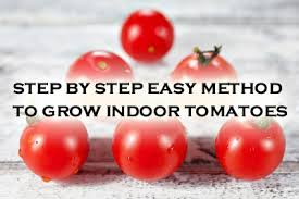 light requirements for growing tomatoes indoors step by step easy method to grow indoor tomatoes pioneer thinking