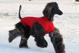 afghan hound puppies ohio 11 beautiful black afghan hound pictures and images
