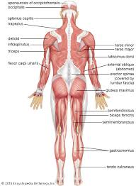 Anatomy Of Body Muscles Human Muscle System Britannica Com
