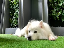 american eskimo dog what do they eat rosehip supplements for dogs yay or nay u2013 polar the curious
