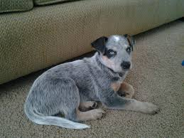 3 4 australian shepherd 1 4 blue heeler my blue heeler puppy finally stood still for one picture aww