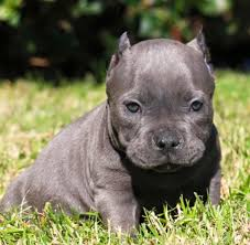 american pitbull terrier for sale in ohio puppies