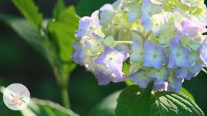 hydrangeas flowers how to propagate hydrangeas by cuttings growing flowers container