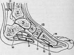 Foot Surface Anatomy The Ankle And Foot Surface Anatomy Continued